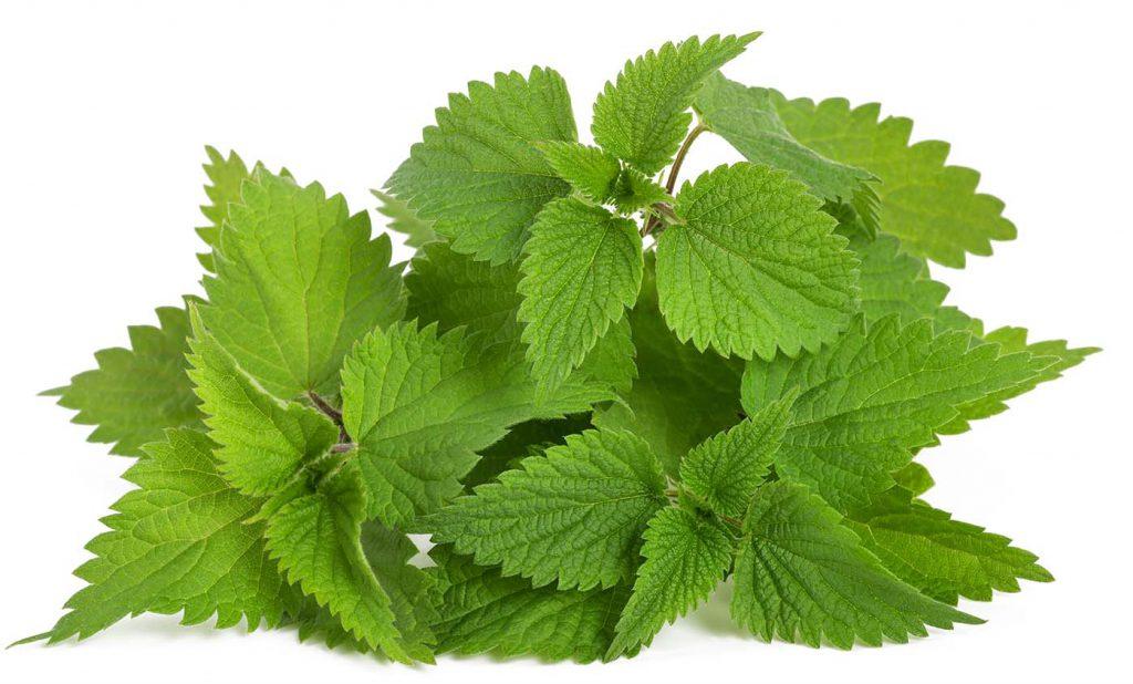 צמח מרפא-סרפד בנוסחה של המופיקס